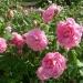 Они красиво цветут и плодоносят. .  Парковые розы - это кустарники, которые...